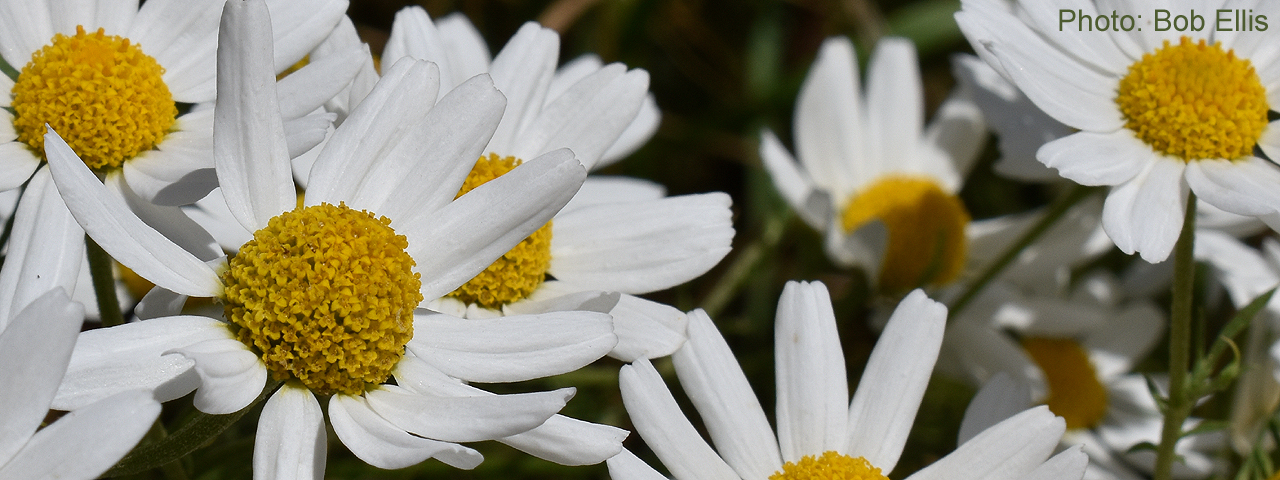 Stinking Mayweed by Bob Ellis