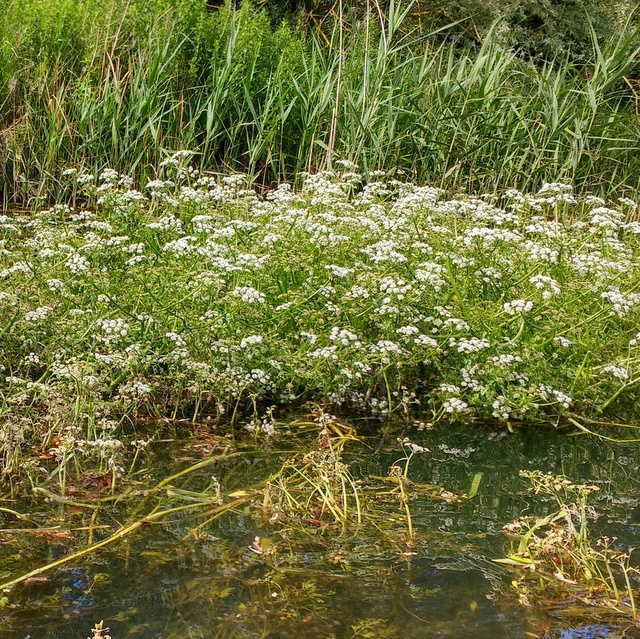 river water dropwort