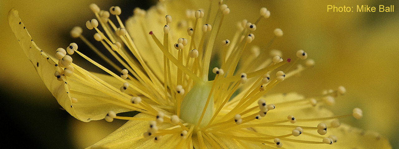 Perforate St John's-wort by Mike Ball