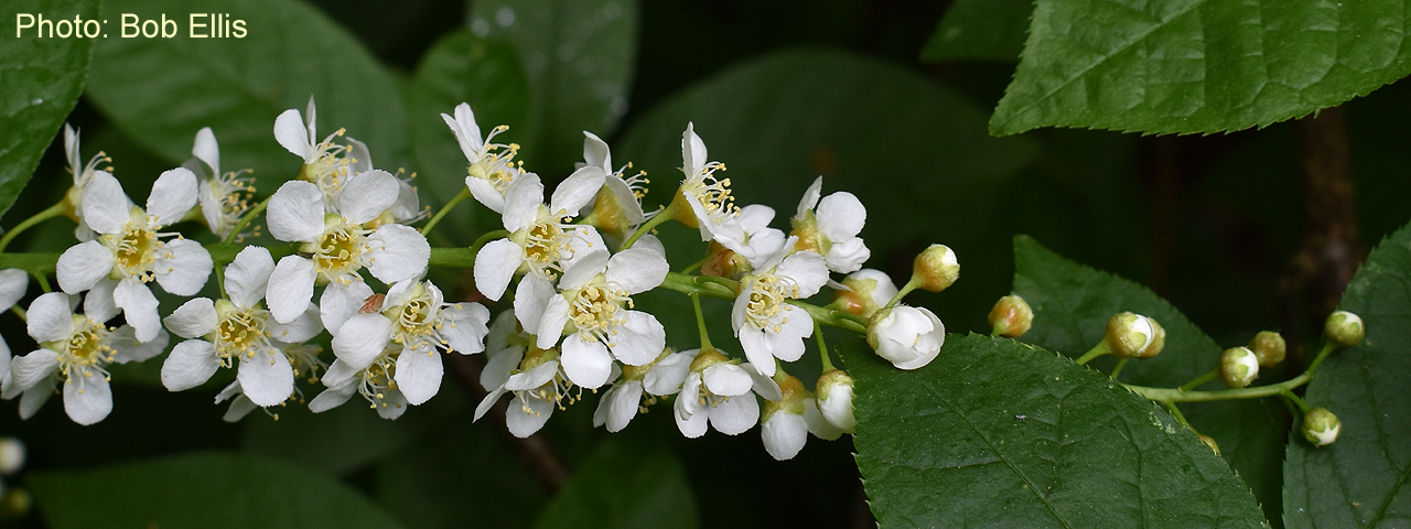 Bird Cherry by Bob Ellis