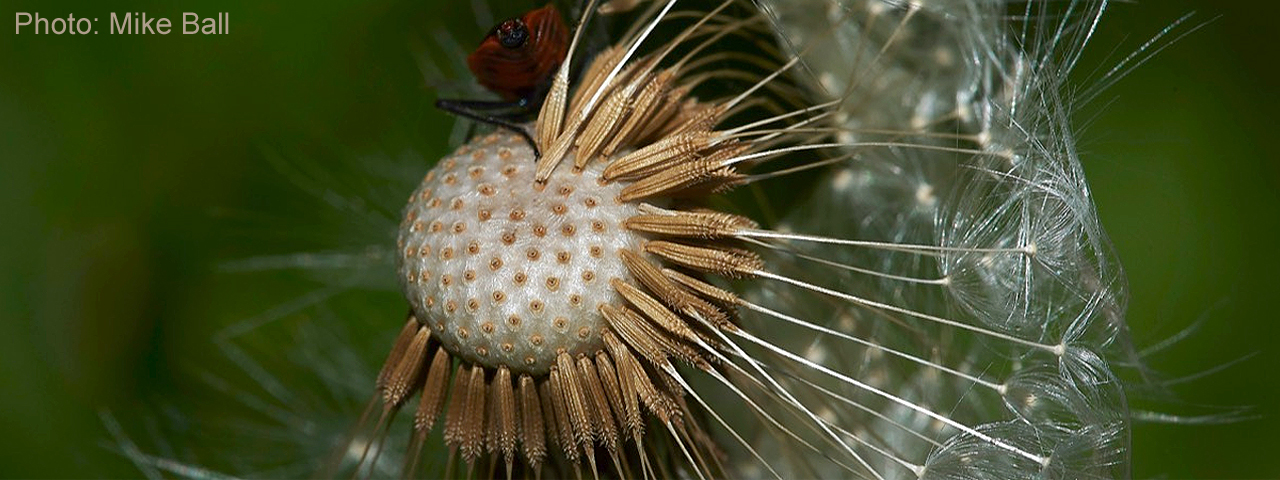 Dandelion seedhead by Mike Ball